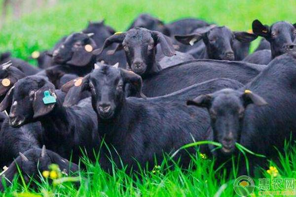 黑山羊怎么养能高效益?