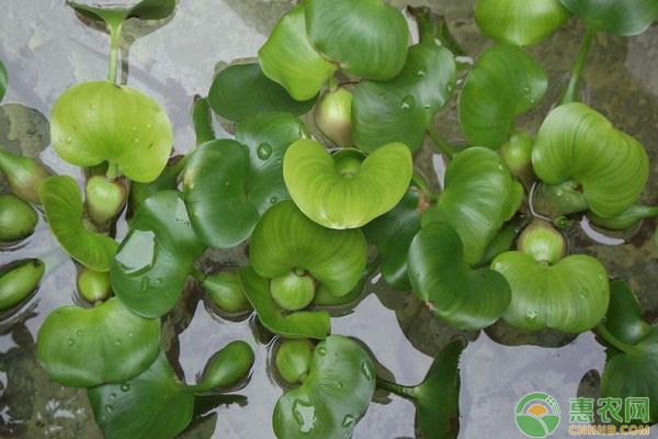 水葫芦怎么养?水葫芦的养殖方法介绍