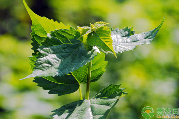 农村这种树叶具有清热解毒奇效,还能做绿色豆腐?有人一斤卖80元!