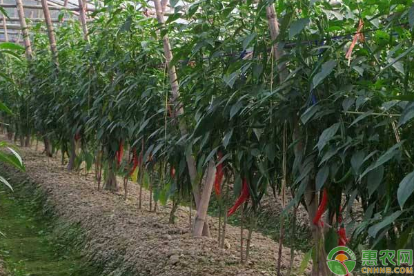 那么辣椒剪枝过程必可少,下面小编就说说北方地区辣椒剪枝再生果枝