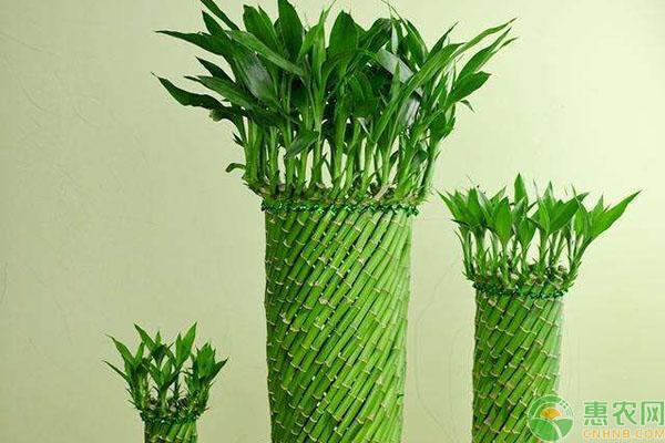 富贵竹怎么养好看?富贵竹编织造型方法讲解