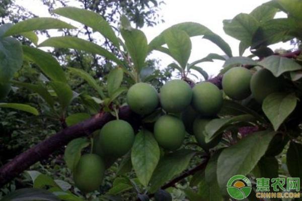 石门2号香蕉李栽培技术及主要病虫害防治