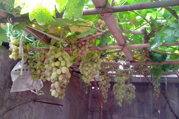 院子种植葡萄总是烂果?院子种葡萄防烂果方法