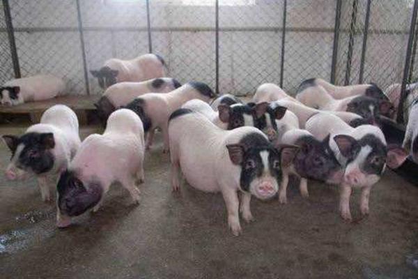 7月21日生猪价格行情:南北猪价涨势及范围继续扩大