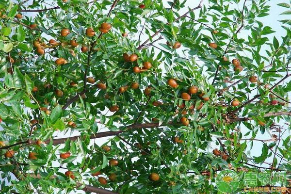 浅谈枣树的主要病虫害及防治方案
