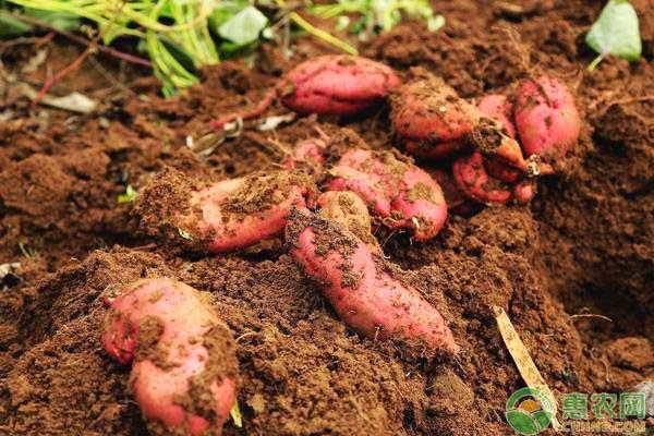 沒有草木灰紅薯也能高產?用好這招,紅薯畝產萬斤不是夢