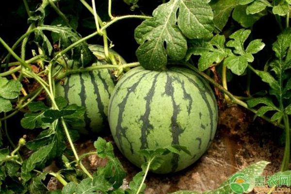 传统西瓜种植要如何逆袭?