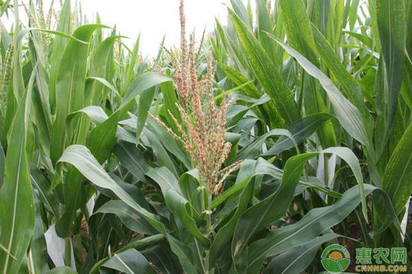 玉米授粉补救方法