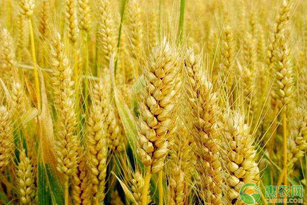 小麦品种选择