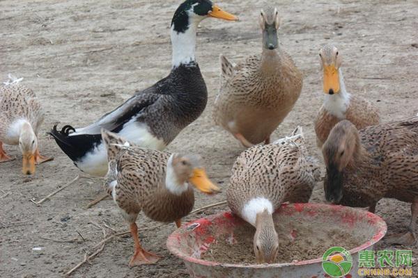 鸭大舌病怎么办?鸭大舌病的综合防治措施