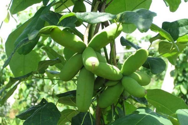 八月瓜怎么盆栽?八月瓜盆景栽培养护技巧