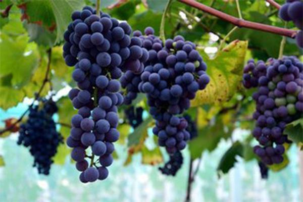 巨峰葡萄多少钱一斤?8月11日各地葡萄价格最新行情
