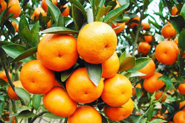 柑橘缺氮怎么办?柑橘缺氮原因分析及补氮肥攻略
