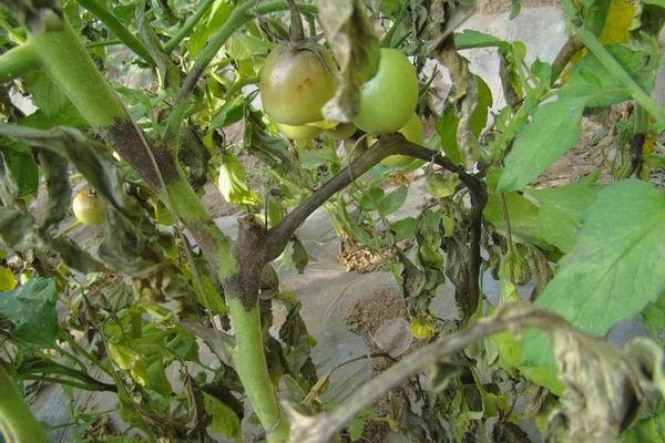 大棚西红柿死棵严重怎么办?西红柿死棵的原因及防治措施