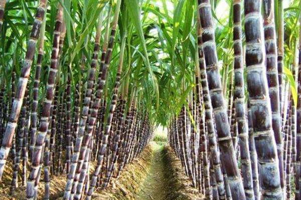 甘蔗怎么种能高产?黑皮甘蔗高产高效益栽培技巧
