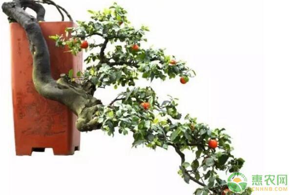 观果盆景金弹子嫁接繁殖技术及驯化栽培要点