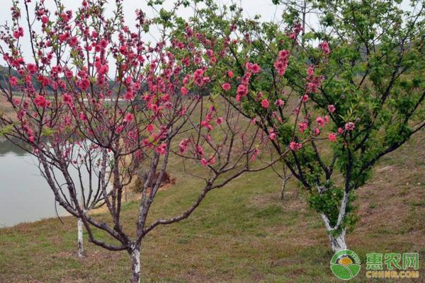 河南孟州桃树细长主干形冬季修剪技术