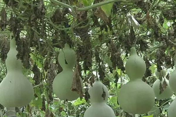 曲周县:张宝民的小葫芦成模范致富案例!