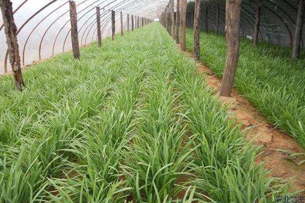 北方地区韭菜露地高效栽培技术要点