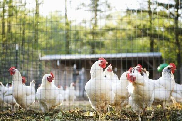 """养鸡不赚钱?看这位养鸡户如何打开农村新商""""鸡"""""""