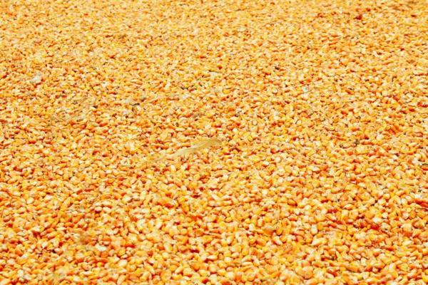 今日玉米多少钱一斤?8月18日全国玉米价格行情