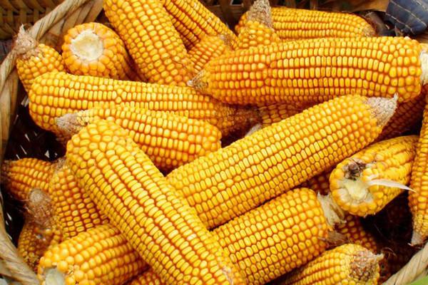 玉米价格是涨势跌?8月19日玉米价格行情汇总