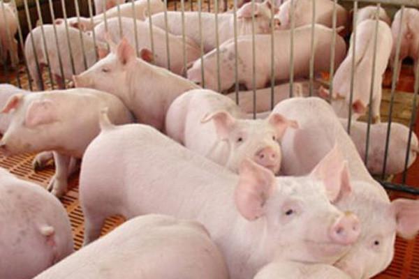 8月19日最新生猪价格:疫情影响猪价继续下降