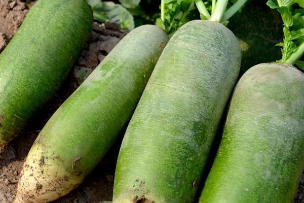 夏萝卜高产栽培选土、施肥及田间管理技巧