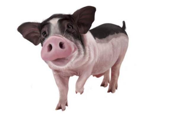 8月20日全国生猪价格行情:短期疫区猪价可能持续下跌