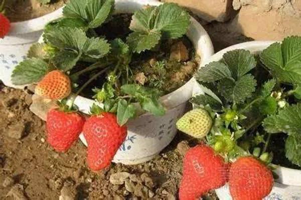 秋季草莓如何盆栽?秋季盆栽草莓的方法技巧