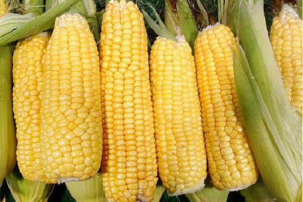 今日玉米收购价多少钱一斤?8月21日各产地玉米收购价格