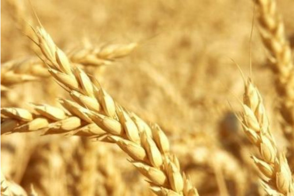 今日小麦收购价多少钱一斤?8月21日各地小麦价格最新报价