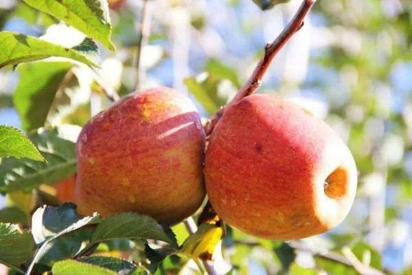 苹果多少钱一斤?今日苹果价格汇总及产区行情分析