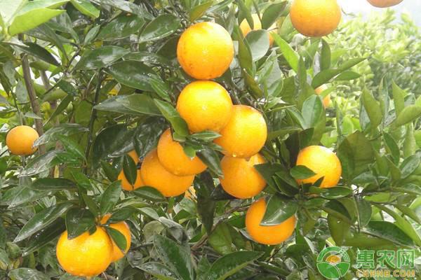 柑橘果实蝇的发生规律及综合防治方法