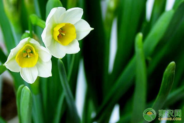 洋水仙和中国水仙有哪些区别?洋水仙栽培影响因素