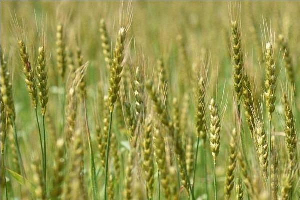 当前小麦价格多少钱一斤?2018小麦收购价格行情及后期走势