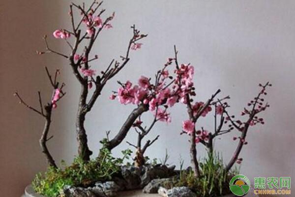 盆栽腊梅为什么花朵很少?盆栽腊梅花少原因及解决措施