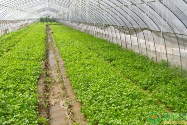 蔬菜出现药害怎么办?大棚蔬菜用药注意事项及药害防治方法