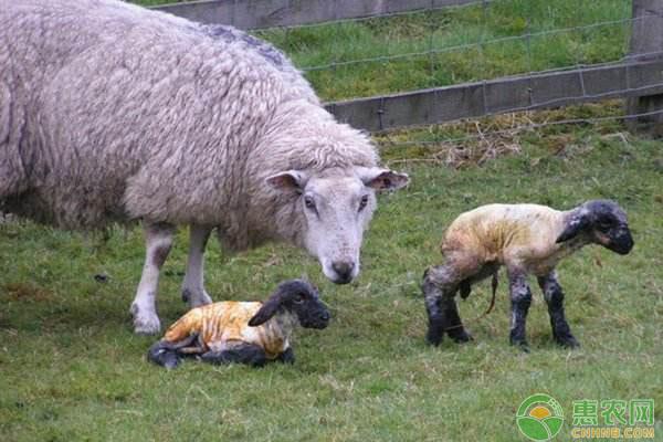 绵母羊饲料