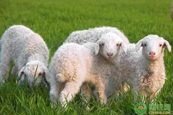 绵母羊饲料喂养