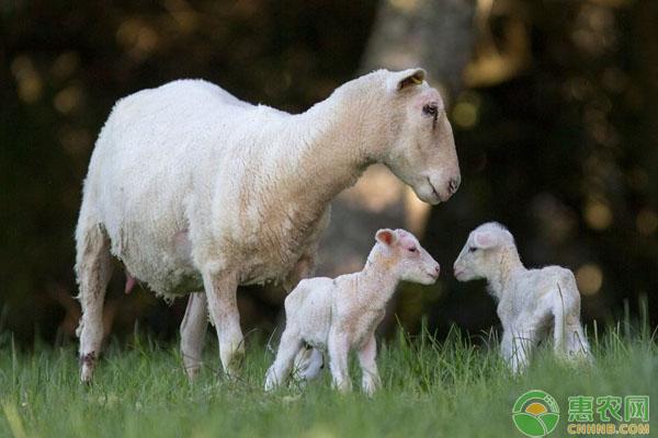 绵母羊饲料投喂