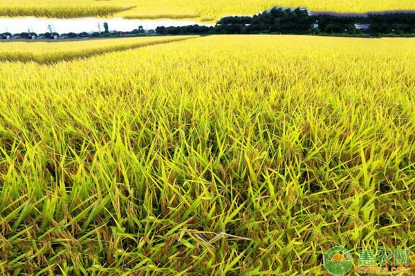 什么是水稻大脚削梢?水稻大脚削梢出现原因及防止措施