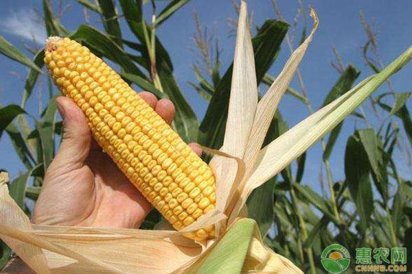玉米种植管理