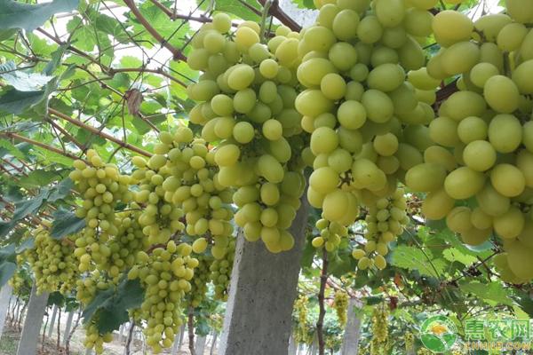 上万亩的葡萄园如何管理?