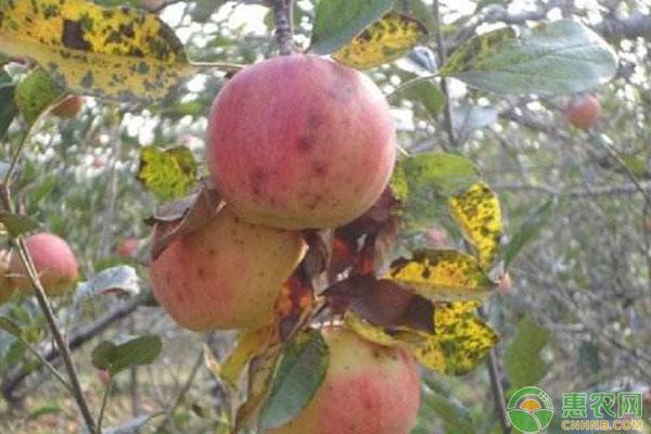 苹果红点病防治