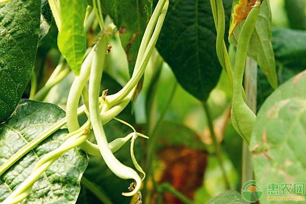 农家小院常见蔬菜种植品种