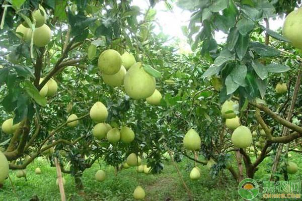 柚子怎么种?柚子树的高产栽培秘诀分享