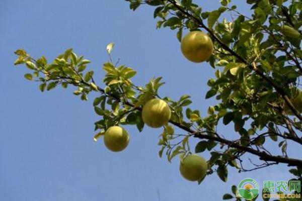 柚子怎么种?
