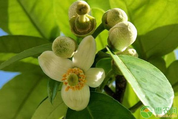 柚子树的高产栽培秘诀分享