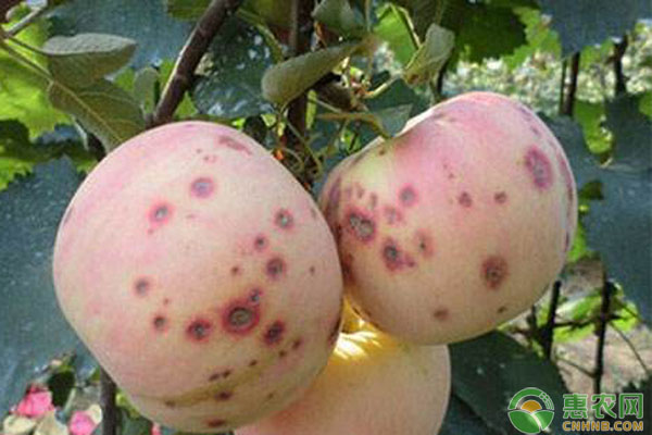 苹果红点病防治药剂